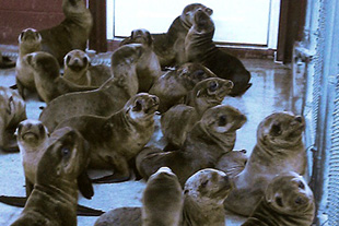 Forr�s: Pacific Marine Mammal Center