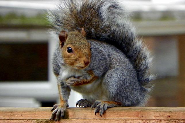 Ezért hódíthatják meg a betolakodó mókusok Európát