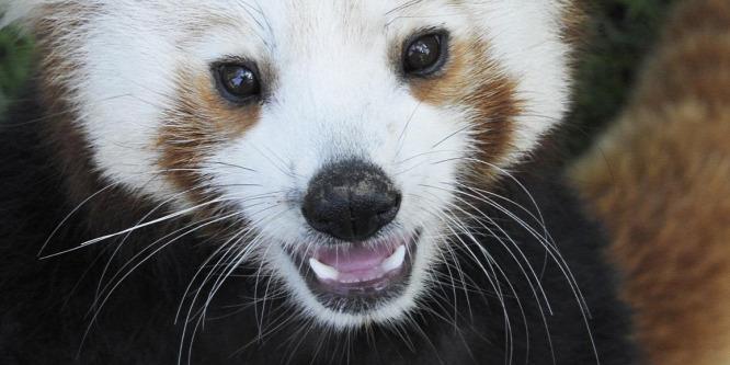 Elérkezett a pandanász ideje Nyíregyházán