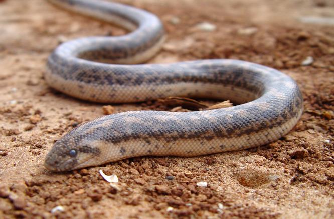 Kihaltnak hitt óriáskígyót találtak Romániában