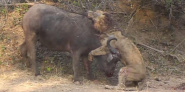 Forr�s: Shenton Safaris \ Youtube