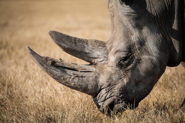 Ötven fölé emelkedett a rinocéroszok száma Tanzániában