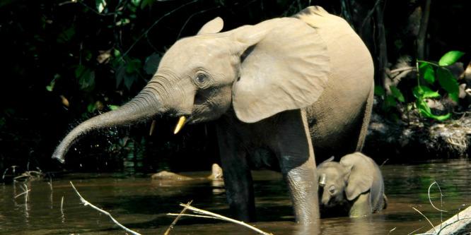 Drasztikusan csökkent az erdei elefántok száma