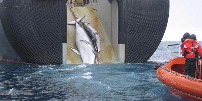 Több bálnát öl meg Norvégia, mint Japán és Izland együttvéve