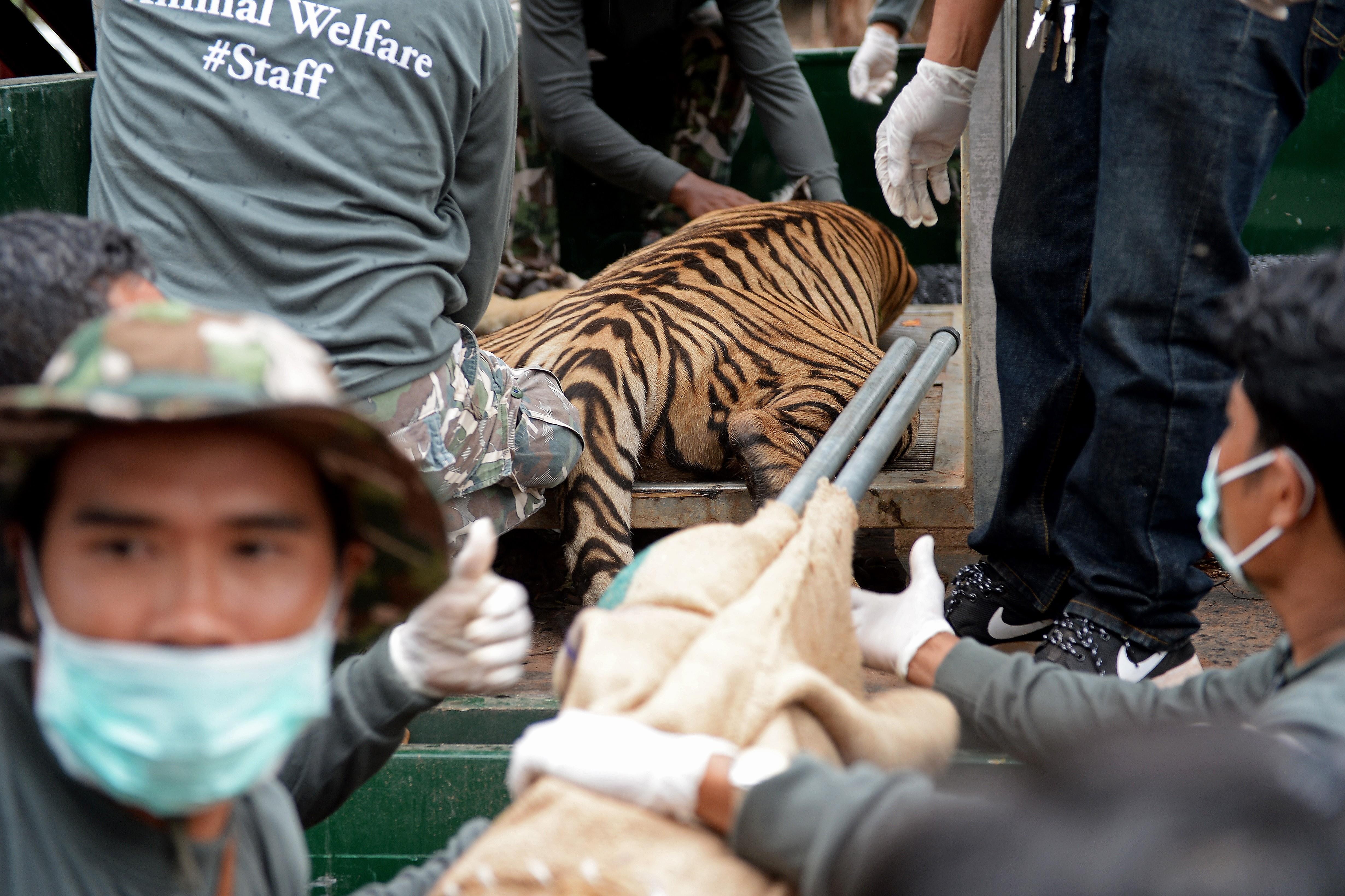 Nem lesz több szelfi a szelíd tigrisekkel
