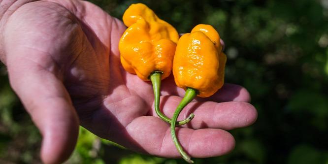 Két világbajnoki aranyat szerzett a magyar chili