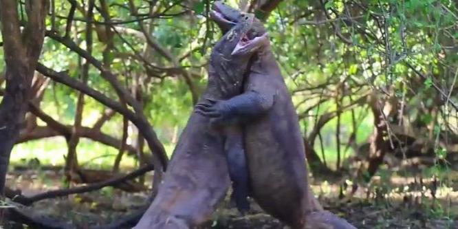 Valódi sárkányok csatáztak egymással Indonéziában