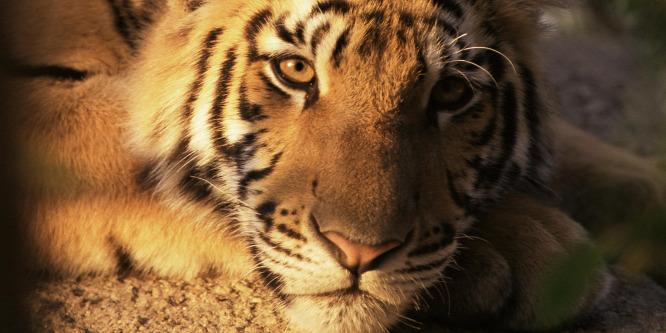 Megszűnt a világhírű cirkusz, a tigris megszökött