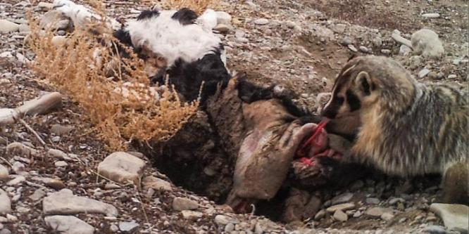 Hihetetlen videó: egy egész borjút elásott az apró állat