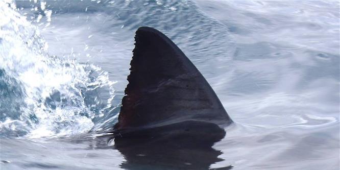 Hatalmas cápaszörny akadt horogra Ausztráliában