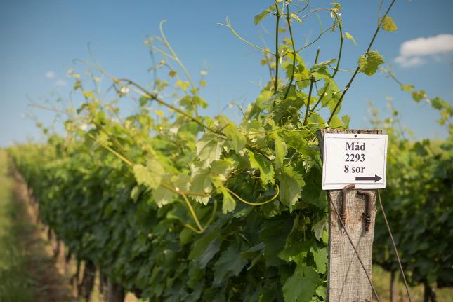 Boci, bor, botrytis – Mádon jártunk