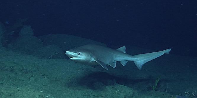 A dinoszauruszok kortársa volt a Kaliforniánál lefotózott cápa