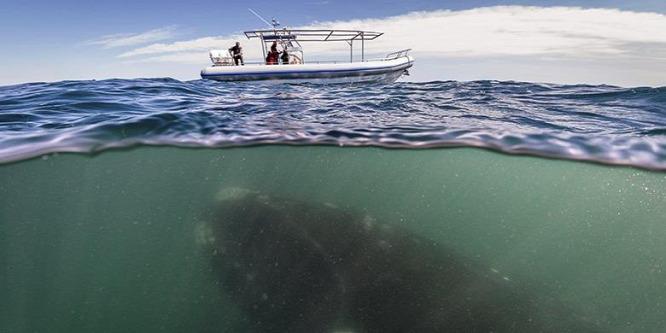 Extrém ritka bálnafaj bukkant fel Alaszkánál