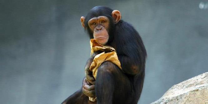 A csimpánzok felismerik társaik tudásbeli hiányosságait