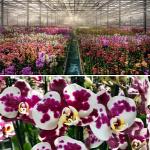 Forrás: Facebook/Ocean Orchids Flowers