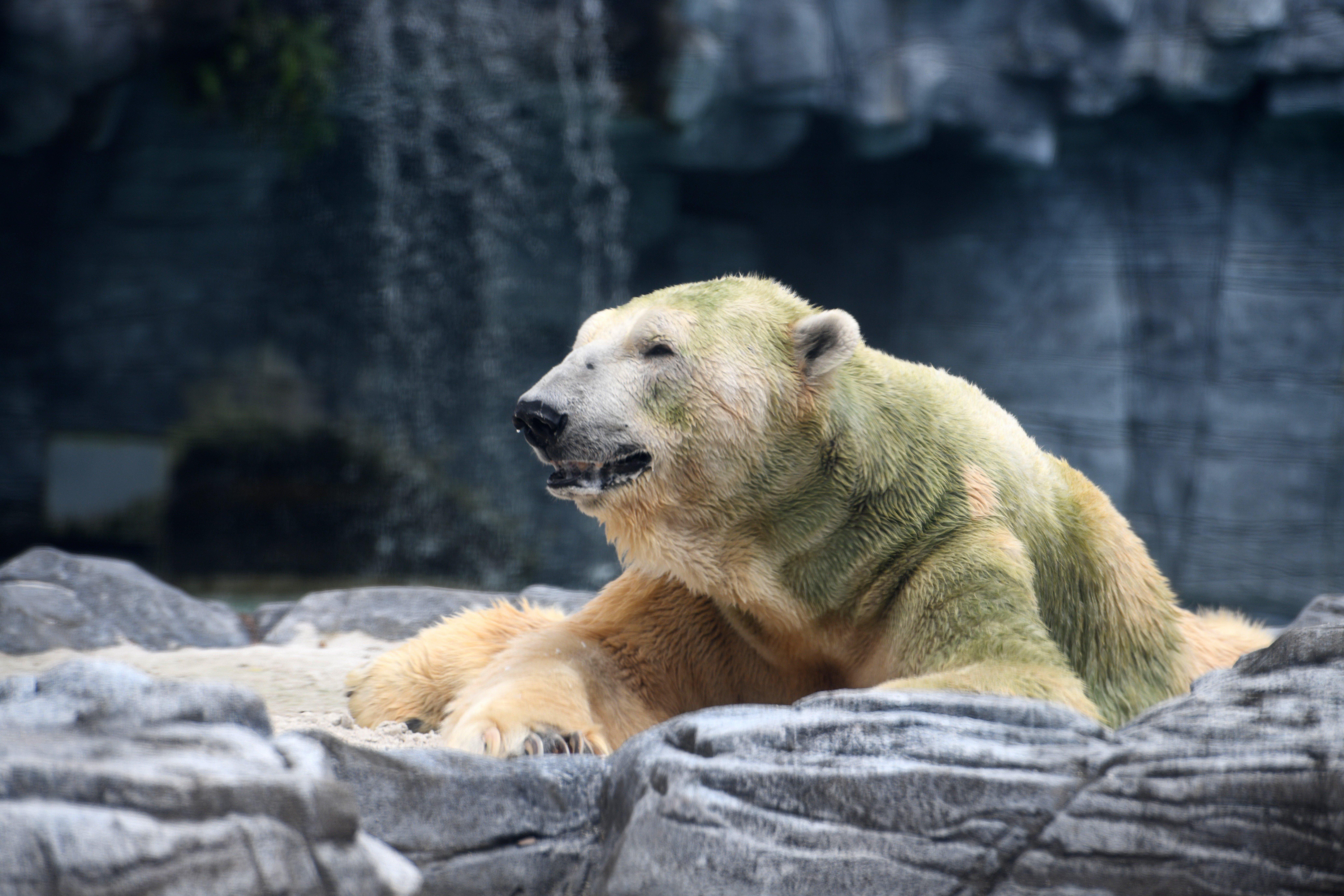 Friss hírek: Inuka beteg volt, a szőre is zöld színű lett.