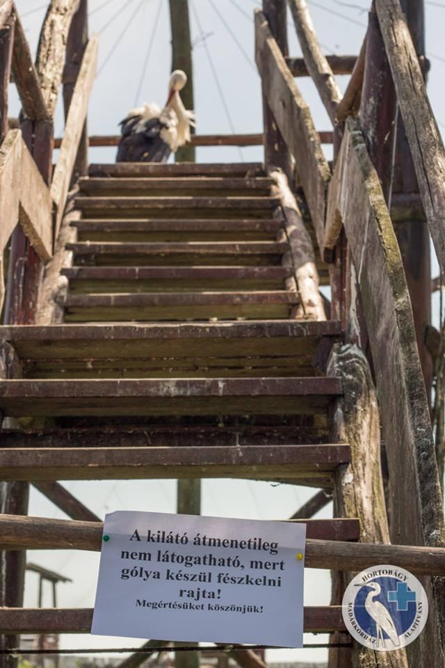 Sérült gólya épített fészket egy hortobágyi kilátó tetején