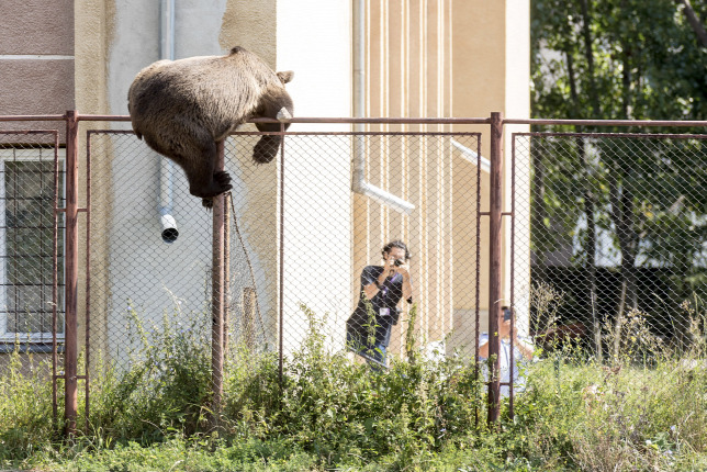 Lelőttek egy medvét egy csíkszeredai iskola udvarán - galéria