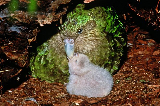 """Képtalálat a következőre: """"kakapó tojás"""""""